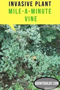 Mile-A-Minute Vine Invasive