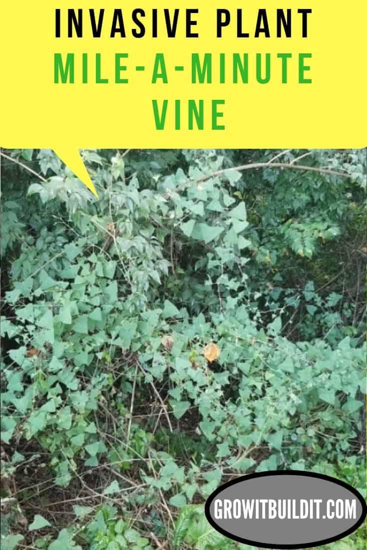 Mile-A-Minute Vine Invasive