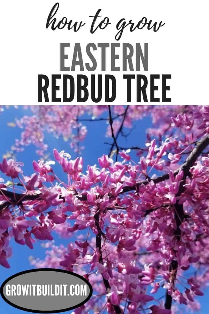 How To Grow Eastern Redbud Tree