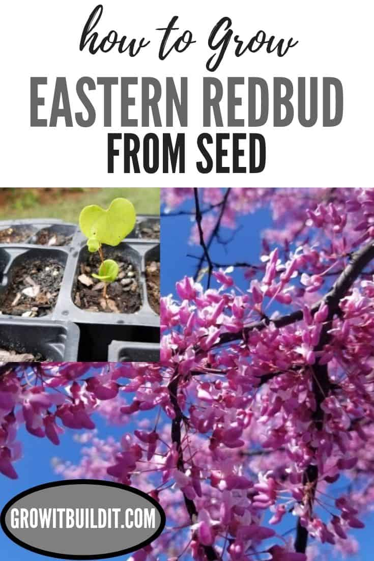 How to Grow Eastern Redbud Tree from Seed