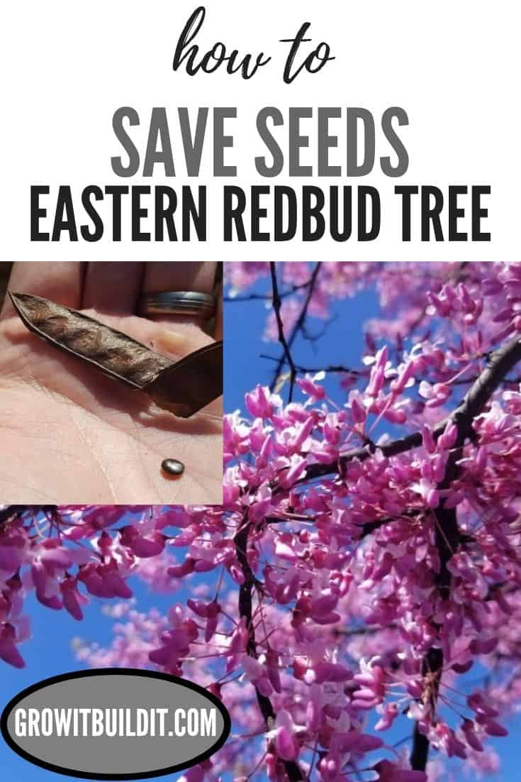 How to Save Seeds from Eastern Redbud Tree