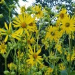 Cup Plant flowers Silphium perfoliatum