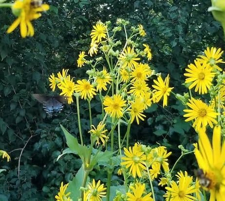 Silphium perfoliatum with black swallowtail