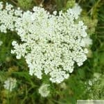 Daucus carota dark center