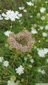 Daucus carota seed head