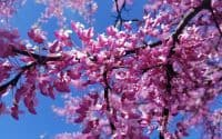 Eastern Redbud Blossoms Flowers