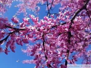Eastern Redbud Blossoms Flowers