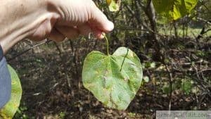 Eastern Redbud Leaf