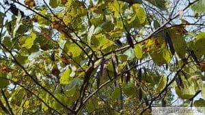 eastern redbud seed pods on tree cercis canadensis