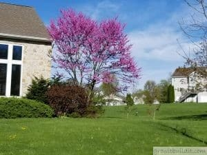Eastern Redbud Tree 2