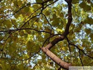 Eastern Redbud trunk bark
