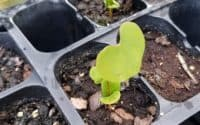 germinating eastern redbud trees