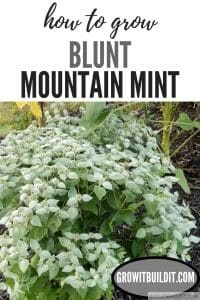 how to Grow Blunt Mountainmint