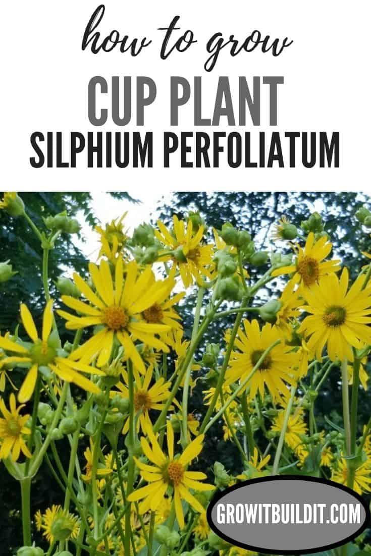 how to grow cup plant Silphium perfoliatum