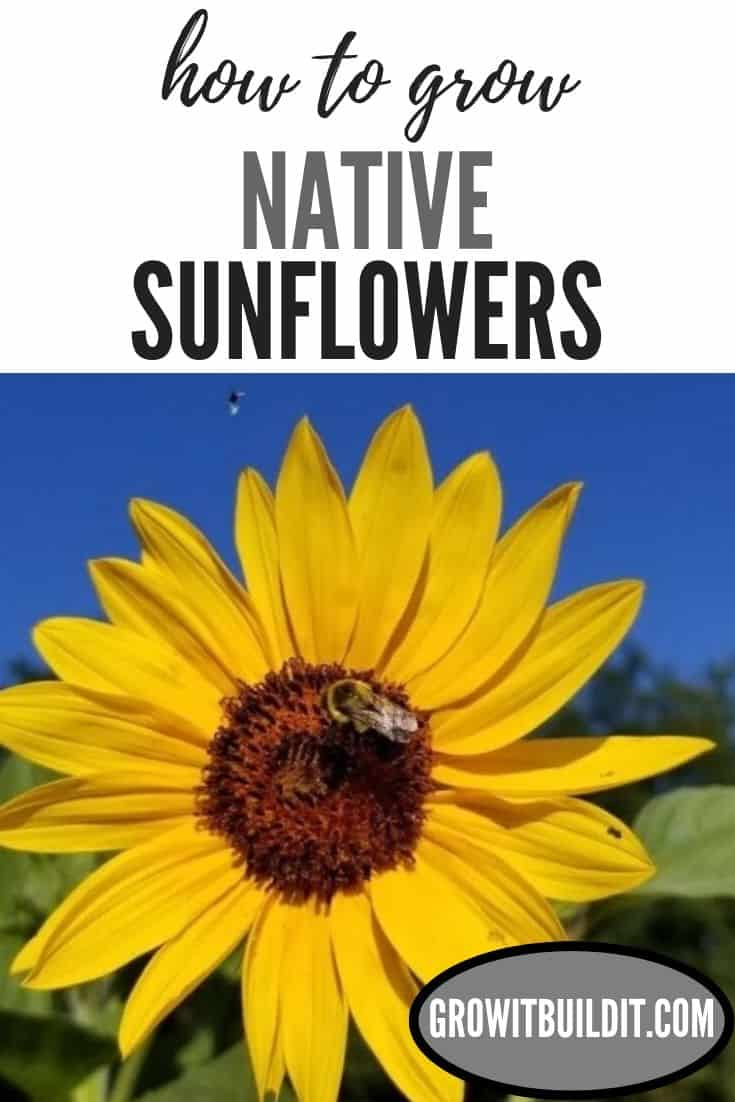 how to grow native sunflowers