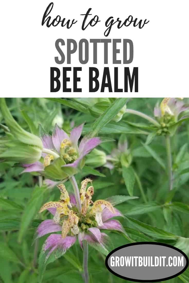 how to grow spotted bee balm