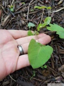 mile a minute leaf