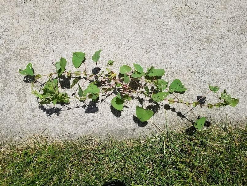 mile-a-minute vine seedling