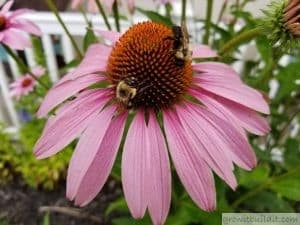 purple coneflower bee