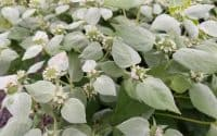 Pycnanthemum muticum flower mountainmint