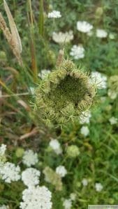 queen anne lace seed head