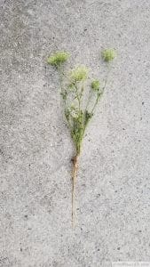 queen anne's lace whole plant Daucus carota