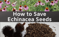 how to save echinacea seeds