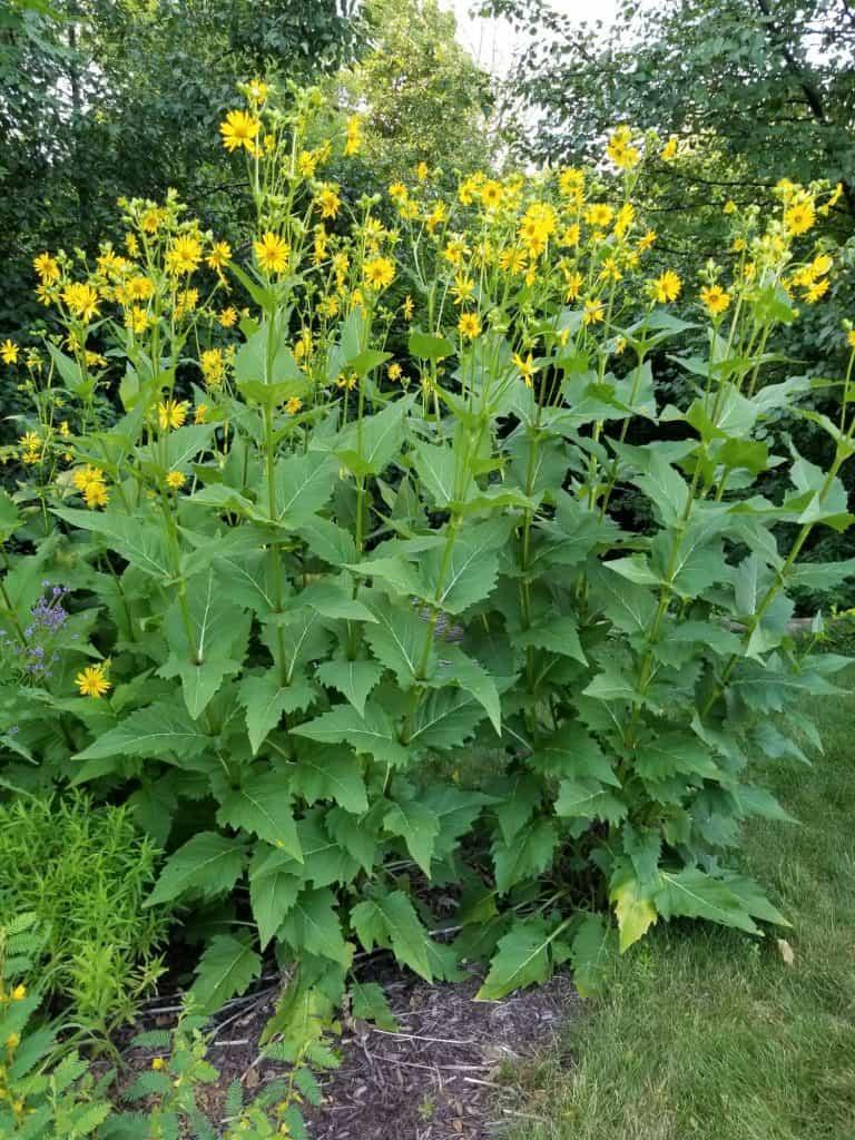 Full size silphium perfoliatum