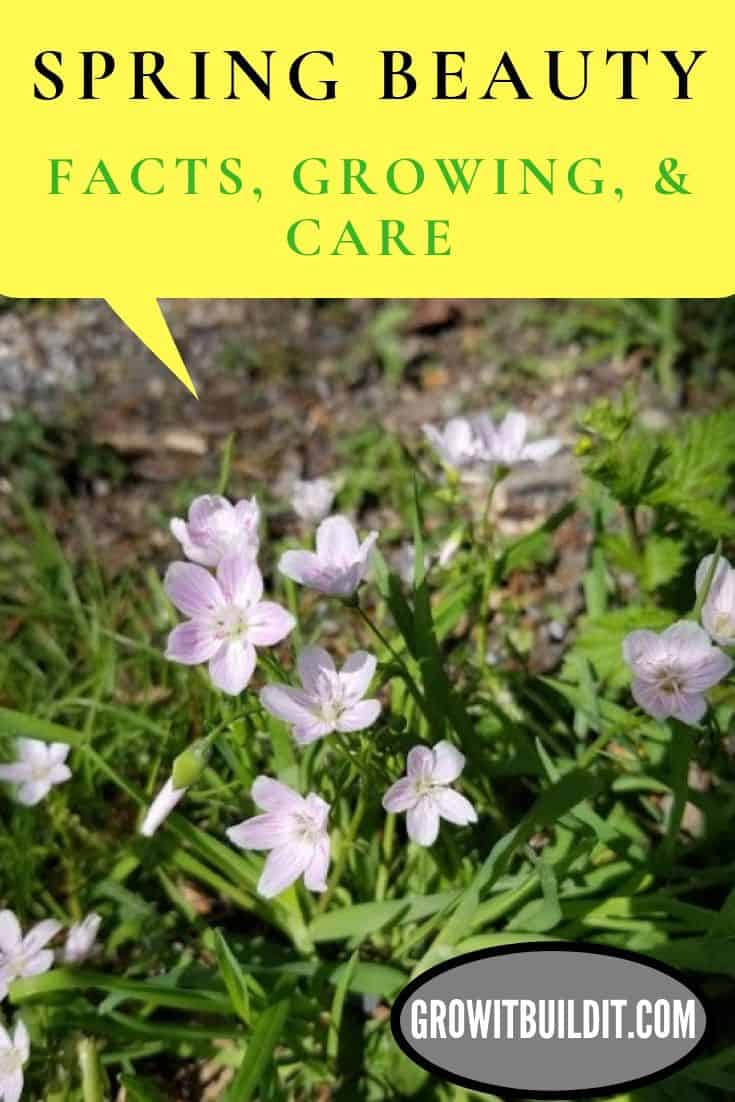 spring beauty facts grow care