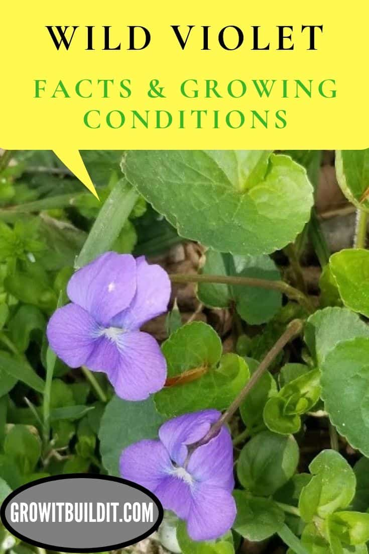 wild violet facts and growing conditions