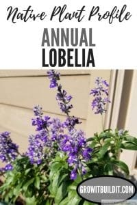 annual lobelia Lobelia erinus