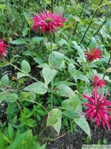 Bee balm powdery mildew