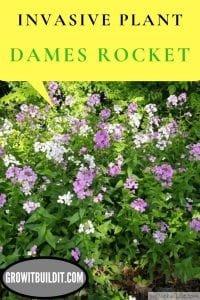 dames rocket invasive plant