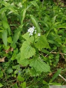 Garlic Mustard with Flower