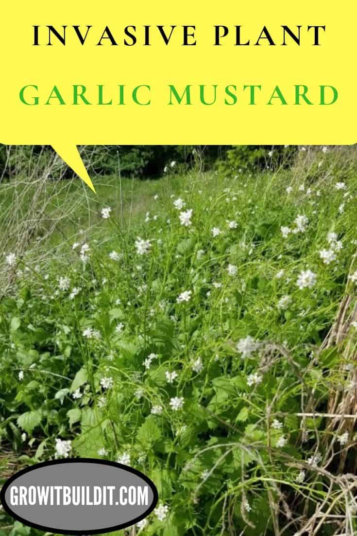 garlic mustard invasive plant