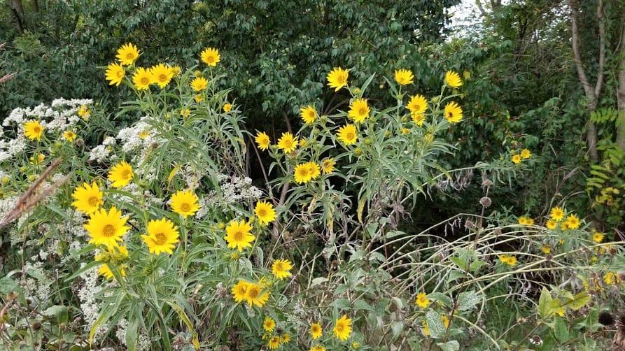helianthus giganteus giant sunflower