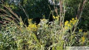 helianthus giganteus tall sunflower