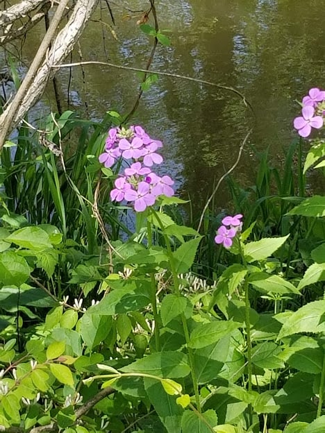 Hesperis matronalis leaves bloom