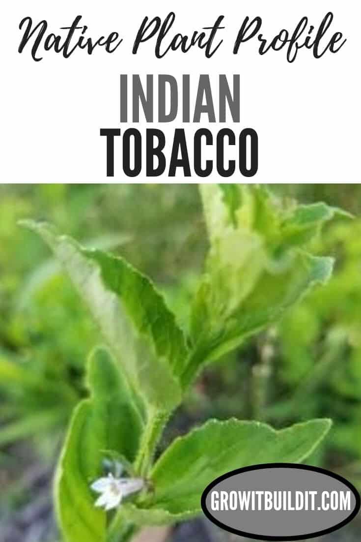 indian tobacco native plant profile