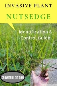 nudsedge identification and control invasive grass plant