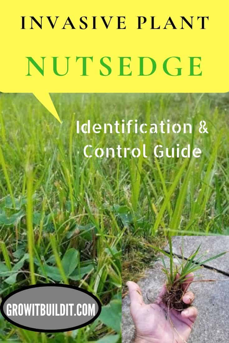 nudsedge identification and control invasive grass plant