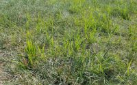 Nutsedge nut grass