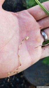 Nutsedge tuber and root