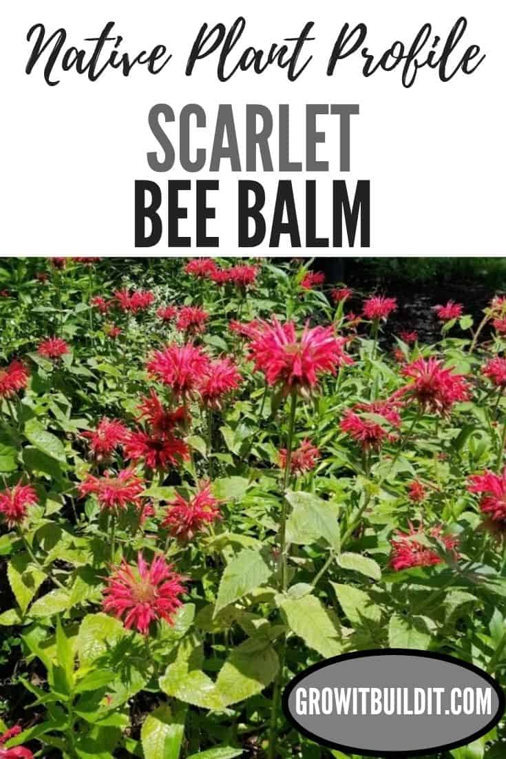 scarlet bee balm scarlet bee balm