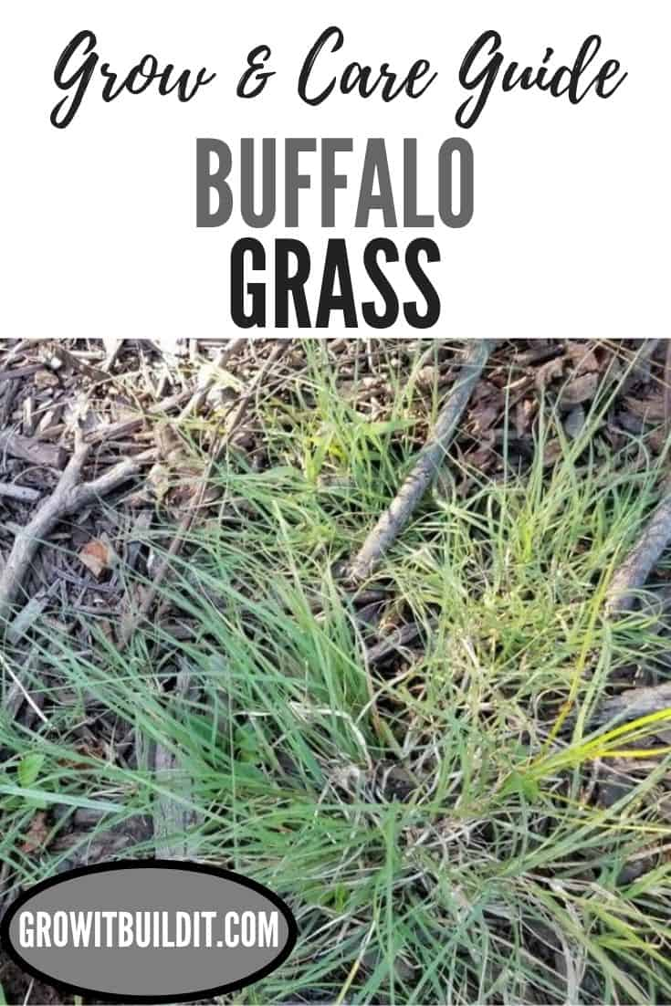 buffalo grass grow and care guide