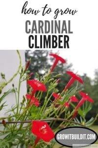cardinal climber