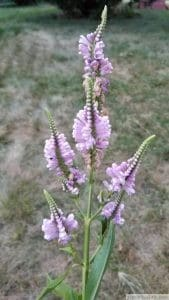 Physostegia virginiana obedient plant blooming