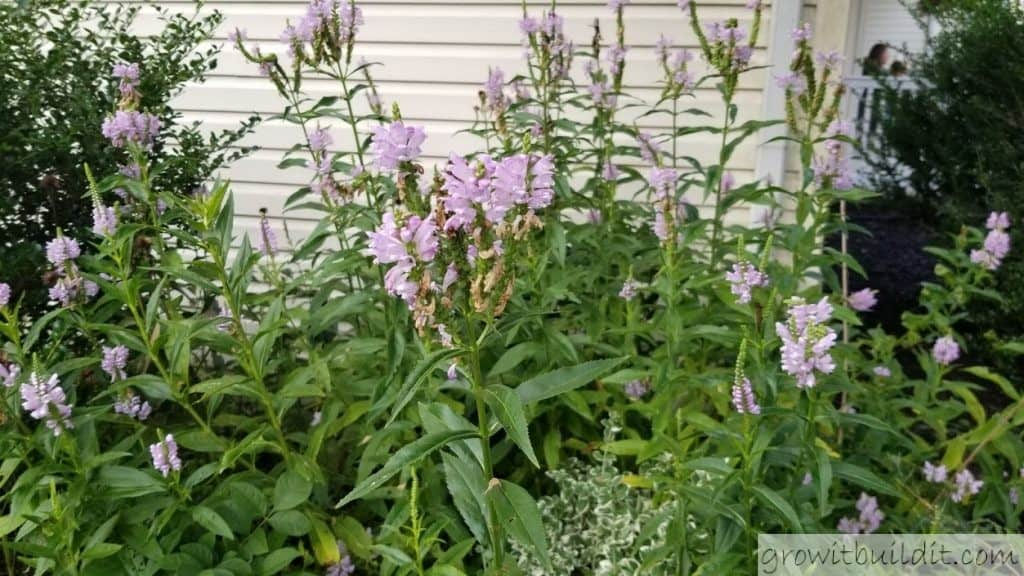 Physostegia virginiana obedient plant