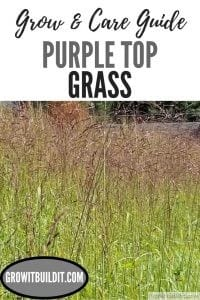purple top grass