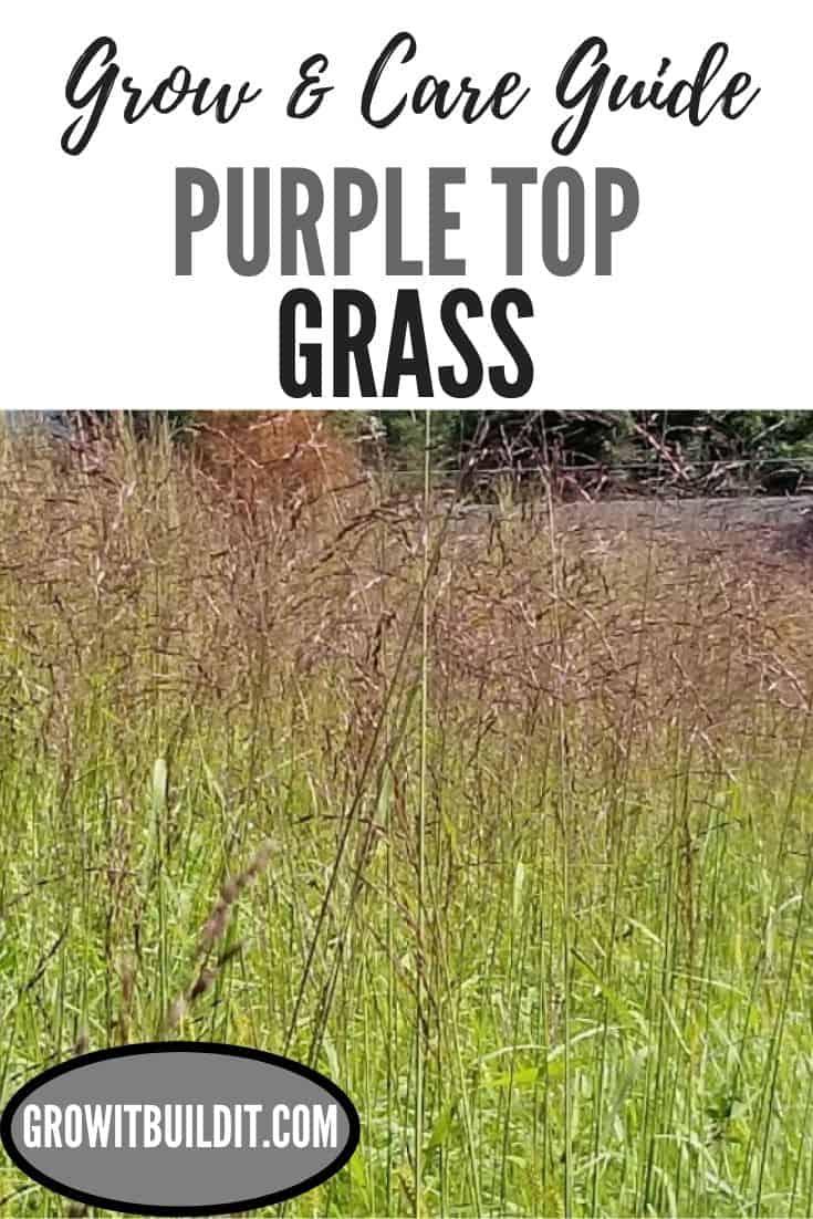 purple top grass